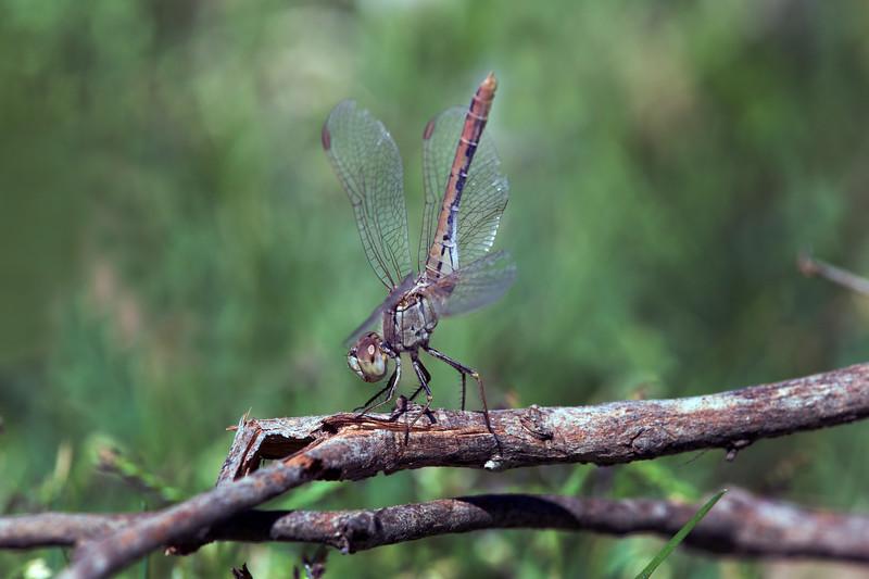 Diplacodes bipunctata (Family Libellulidae)