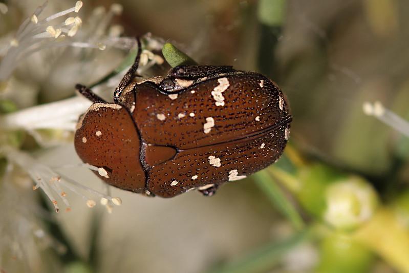 Pollen Beetle<br /> Canon 60D 100mm 2.8 EF Macro lens.