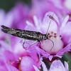 Cosmopterigidae (possibly) Ellis Brook