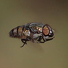 Hover Fly<br /> Canon 60D 100mm 2.8 EF Macro lens.