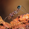Bull Ant - Darling Range <br /> Mrymecia vindex<br /> Canon 60D 100mm 2.8 EF Macro lens.<br /> These animals inflict a severe wound - the pain is rated at 4+ - and can be painful for several days.  My labrador dog was bitten on the back and collapsed for about two minutes before regaining conciousness.