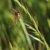 crane-fly Cetoniinae
