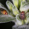 Unidentified Fly and leaf beetle on mint.  Darling Range WA,.
