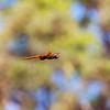Tramea stenoloba (Family Libellulidae)