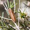 Mantis sac