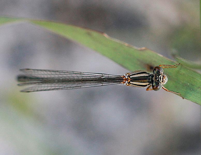 Slender Ringtail <br /> <br /> Austrolestes analis