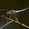 Blue Skimmer Dragonfly<br /> This dragonfly is orange and blak on the tail.  The blue is a wax coating that covers the true colours.  Could this be a defensive strategy to ward off predators or is it that this helps render the animal less easily seen at certain wavelengths?  Or is it a display strategy?<br /> <br /> This was taken with Canon 60D and Tamron 180 Macro lens.