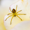 This tiny Petal Spider (10mm) blends in well.  Tamron 180mm hand held - manual focus. 40D Canon.