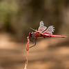 Wandering pennant<br /> The red wing vanes are unusual very like a more Northerly sp.