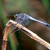 Blue Skimmer - Orthetrum caledonicum<br /> <br /> The male, when mature, is blue and the female yellow.