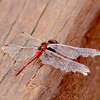 Wandering Percher  -  Diplacodes bipunctata