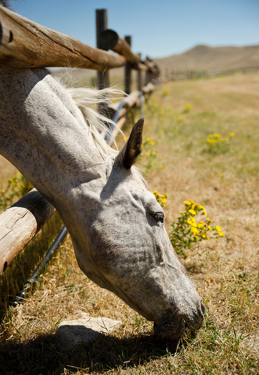 An Appaloosa Horse named Pete reaches under a fence to graze at Fort Phil Kearny State Historic Site Thursday. Pete has been part of the Fort Phil Kearny reenactment show this summer. (The Sheridan Press/Justin Sheely)