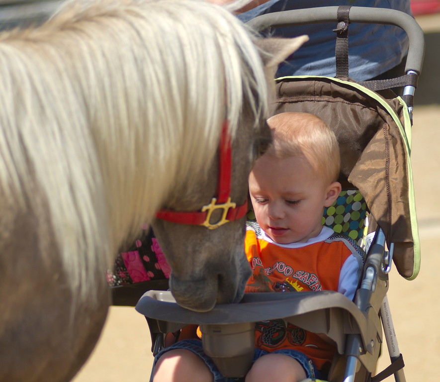 Squeak, a miniature horse, nibbles on a stroller as Camdin Prothero, 2, watches from his seat during the 4-H Miniature Horse Event Thursday at the Sheridan County Fairgrounds. Aug. 1, 2013. (The Sheridan Press/Justin Sheely)