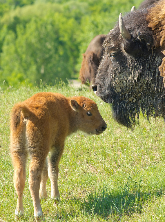 A one-week-old Buffalo Cow Calf moves next to her mother Thursday, June 14, 2013, at Kendrick Park. The calf was born last Thursday, June 6, in the wildlife area. (The Sheridan Press/Justin Sheely)