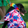 Odes, a 3-month-old Black Lab, waits with the Schaffners during the Pet Parade Friday afternoon at Scott Bicentennial Park in Dayton.
