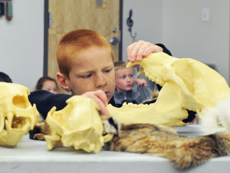 First grader James Cunningham takes a closer look at a bear skull from the Game and Fish Department Tuesday morning during the early release celebration at Big Horn Elementary School.