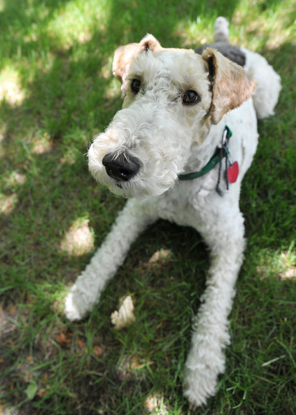 Dickens enjoys the shade and grass Thursday afternoon at the Brinton Museum. The Wirehaired Fox Terrier is a loved local celebrity at the Brinton museum.