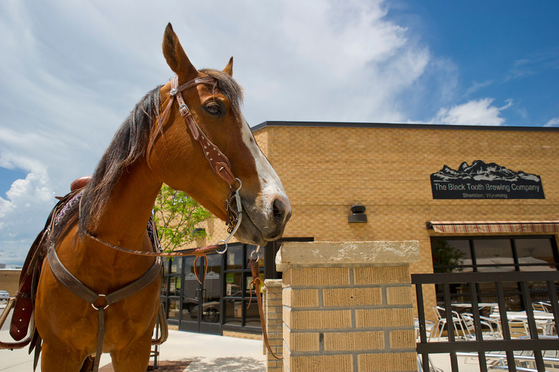 Gunny, a Quarter Horse, waits outside after a promotional photo shoot at the Black Tooth Brewing Company.