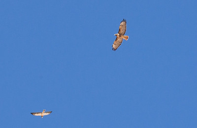 One of pair of Swainson's Hawks (lower) harassing a Red-tailed Hawk