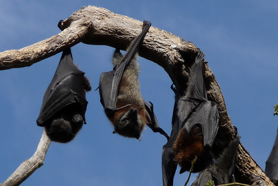 Grey-headed flying-foxes, Pteropus poliocephalus. Botanical Gardens, Sydney, Australia.