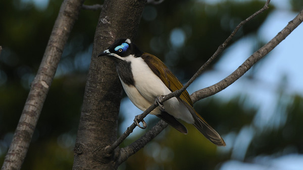 Blue-Faced honeyeater, Entomyzon cyanotis. Australia.