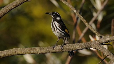 New Holland Honeyeater, Phylidonyris novaehollandiea. Blue Mountains, Australia.