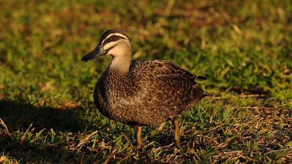 Pacific Black Duck, Anas superciliosa. Australia