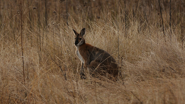 Red-Necked Wallaby, Macropus rufogriseus  Warrumbungle N.P.