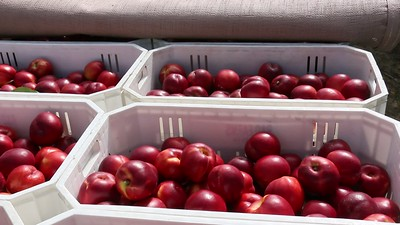 Nectarines in Totes