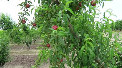 Nectarines on Tree in Orchard