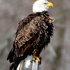 Bald Eagle, Ft. Miller 3-29-14