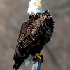 Bald Eagle, Ft. Miller 3-29-14