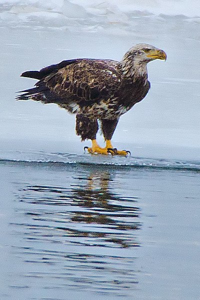 Bald Eagle on ice shelf near Cresent Power Plant, 1-31-14