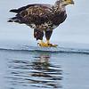 Bald Eagle on ice shelf near Cresent Power Plant, 1-31-14