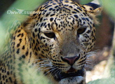 Leopard_close up