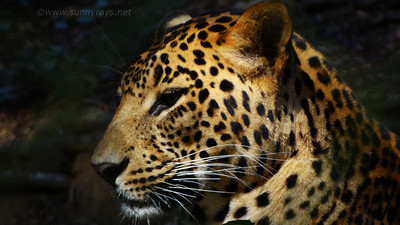 Leopard side view