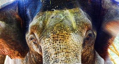 Elephant_hdr