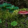 Russula (Russula paludosa or lepida)