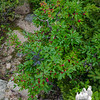 Mountain Holly (Ilex montana)