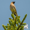 Plenty of these at Sandy Stream Pond… Cedar Waxwing (Bombycilla cedrorum)