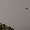 Immature Bald Eagle (Haliaetus leucocephalus) rises above the Knife Edge 3.
