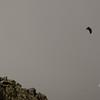 Immature Bald Eagle (Haliaetus leucocephalus) rises above the Knife Edge 3.