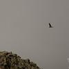 Immature Bald Eagle (Haliaetus leucocephalus) rises above the Knife Edge 2.
