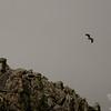 Immature Bald Eagle (Haliaetus leucocephalus) rises above the Knife Edge 1.