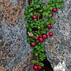 Mountain Cranberry (Vaccinium vitisidaea)