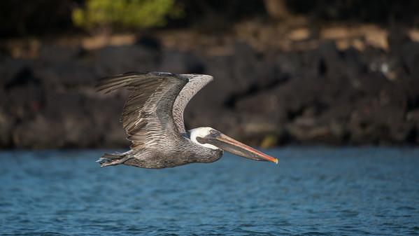 Brown pelican, Pelecanus occidentalis. Black Turtle Cove, Santa Cruz Is. Galápagos.