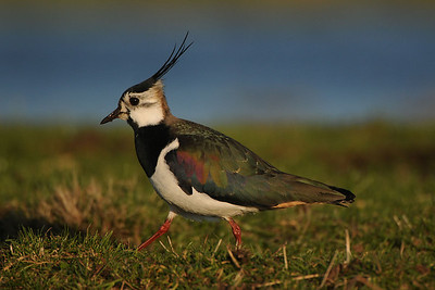Northern Lapwing, Vanellus vanellus. Ilperveld, The Netherlands.