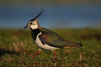 Northern Lapwing, Vanellus vanellus. Ilperveld, The Netherlands.