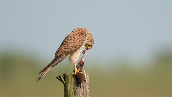 Kestrel, Falco tinnunculus. Ilpendam, The Netherlands.