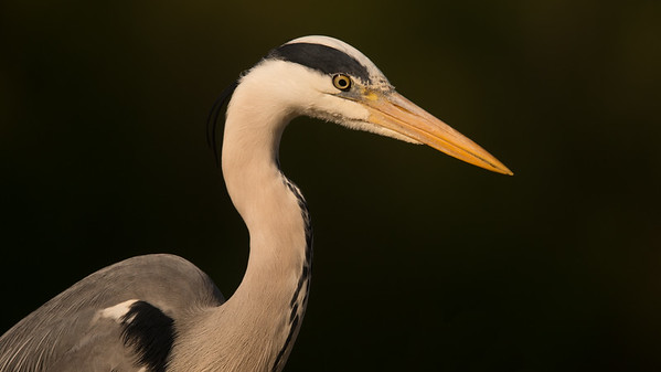Blue Heron, Ardea herodias. Markelo, The Netherlands.